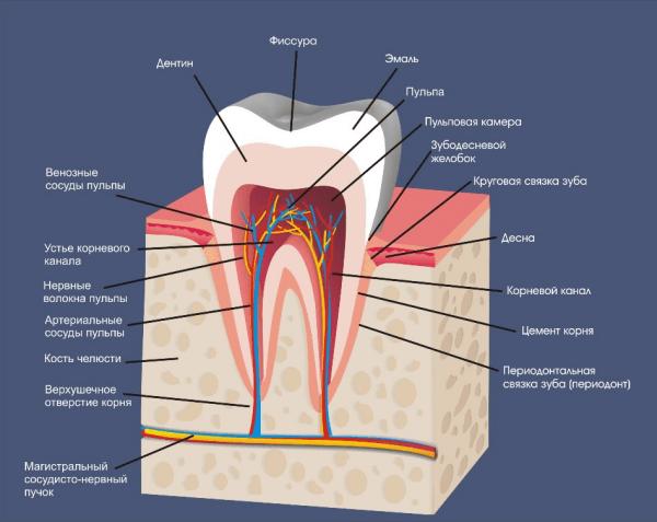 Фото «Анатомия зуба»